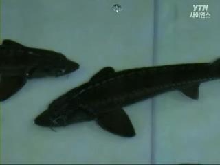 황금알을 낳는 물고기 철갑상어