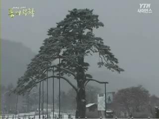 천년의 푸른 약속 소나무