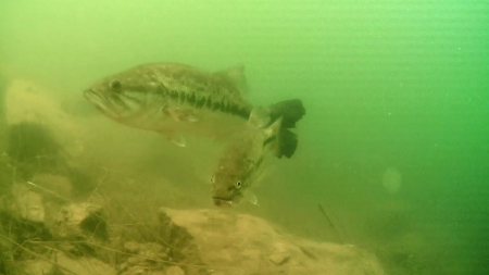 배스, 민물 생태계의 무법자