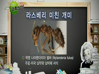 라스베리 미친 개미