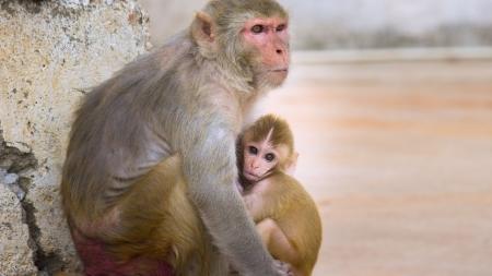 사람과 가장 닮은 동물, 원숭이