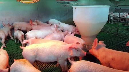 유산균 돼지...구제역에 강하고 육질도 좋더라