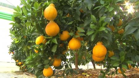 기후변화로 충북 중북부에서도 아열대 과일 재배