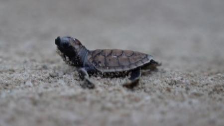 멸종위기종 '매부리 바다거북'...인공 번식 성공