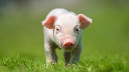 '깨끗하고 똑똑한 돼지' 장기 이식 연구까지…일출 시각에 숨은 과학