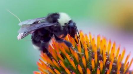 배낭 메고 날아다니는 벌…꽃가루 대신 정보 수집!