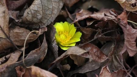 봄 알리는 '복수초'…평년보다 한 달 앞서 개화