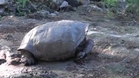 '멸종 위기' 갈라파고스 거북, 113년 만에 발견