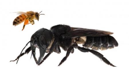 지구에서 가장 큰 꿀벌, 38년 만에 발견