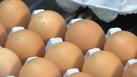 제주 항생제 달걀, '면역증가제'가 원인