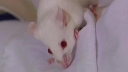 젊은 쥐 골수 이식…기억력 개선