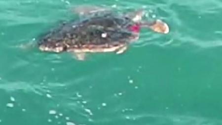 '국제 보호종' 붉은바다거북, 천에 다리 묶여...해경 구조