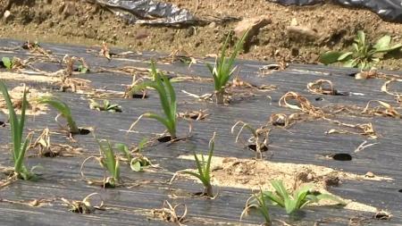 꽃샘추위에 농작물 관리 유의해야