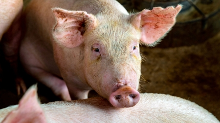 남은 음식물, 가축에게 먹이지 말아야 하는 이유