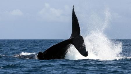 [과학본색] ①일본의 고래잡이 재개 논란 가열