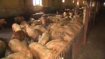 오늘부터 돼지에 잔반 급여 일제 단속