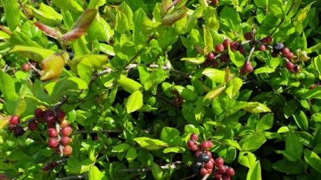 상동나무 추출물, 암세포 억제한다…대장암·폐암에 효과