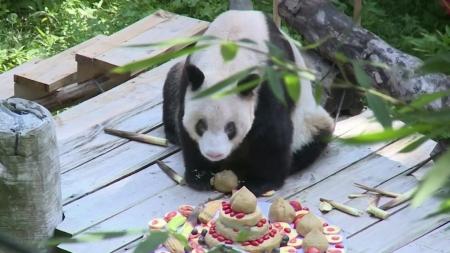 [지구촌 사이언스] 세계 최고령 자이언트 판다의 생일잔치