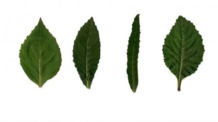 약용식물 '잔대' 잎 생김새 따라 약효 달라