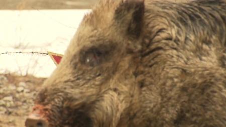 멧돼지서 잇단 바이러스...집중 포획·사살