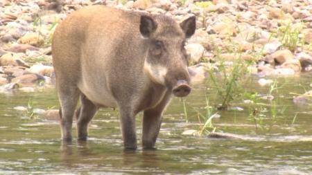 연천 민통선 부근 멧돼지 폐사체서 아프리카돼지열병 바이러스 검출