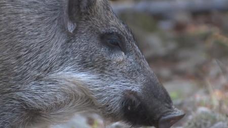 멧돼지에서 바이러스 검출·의심 신고 추가 접수