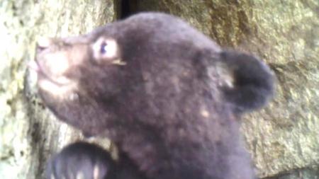 덕유산 일대 반달가슴곰 산다