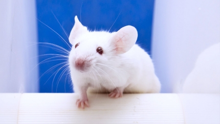 [과학본색] '흰 쥐'의 해…생명과학 발전 이끈 실험용 쥐