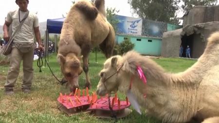[지구촌 사이언스] 밸런타인 데이에 결혼한 낙타 커플