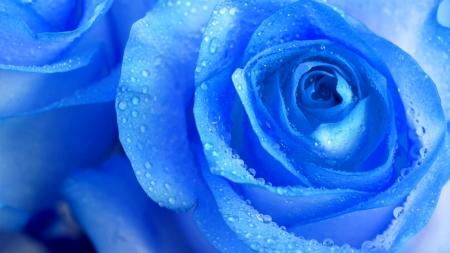 """[궁금한S] """"파란 장미는 없을까?""""…장미 꽃잎에 담긴 과학"""