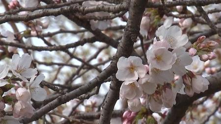 [날씨학개론] 100년 만에 일찍 핀 서울의 벚꽃…봄꽃 개화 시기 빨라진 이유는?