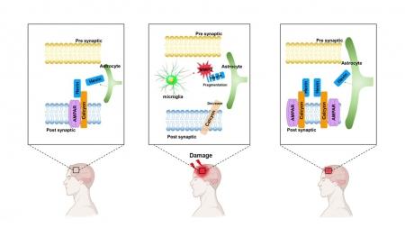 KIST, 뇌 손상 회복 돕는 새 단백질 결합 발견