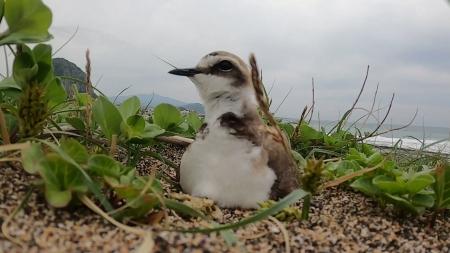 해안사구 훼손에 흰물떼새 생존도 위협받아