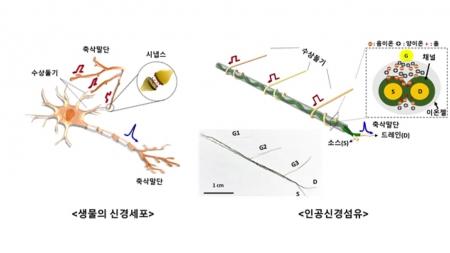 사람 신경계 기능 모방하는 인공신경섬유 개발