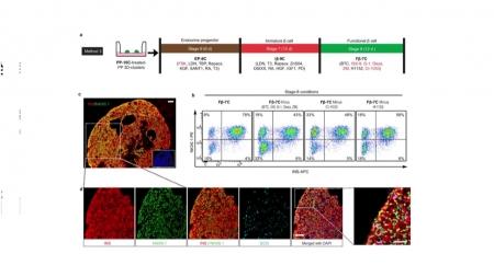 줄기세포 활용 인슐린 생성 세포 대량 생산