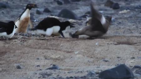 도둑갈매기 습격한 남극 펭귄…이례적 장면 포착