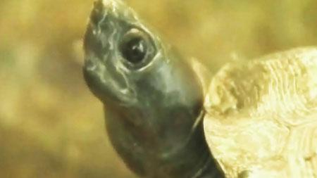 다시 살아나는 토종 거북, 남생이의 꿈
