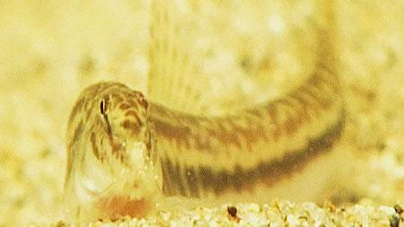 멸종위기의 미호종개
