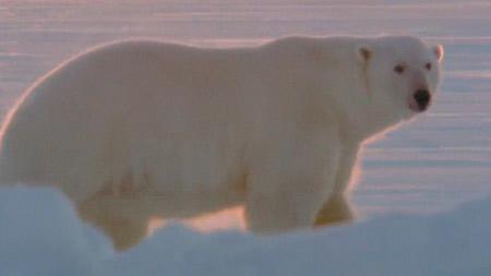 북극곰 가족 생존기 1부. 봄