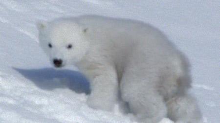 북극곰 가족 생존기 2부. 여름