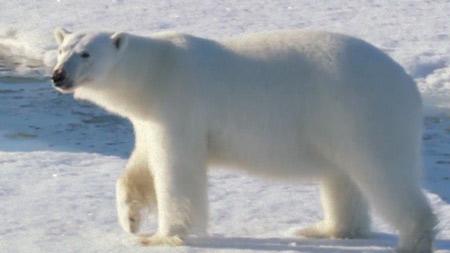 북극곰 가족 생존기 3부. 가을