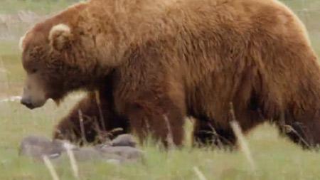 밀착취재! 알래스카 회색곰 2부