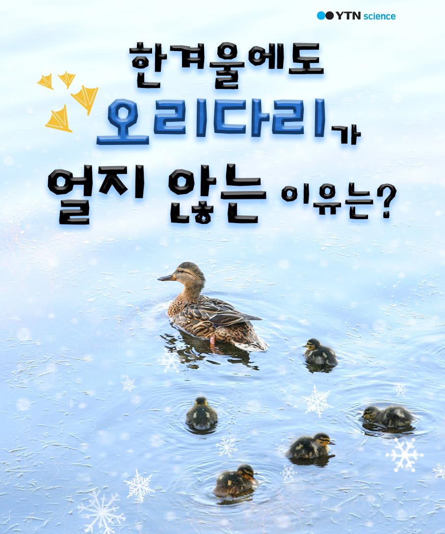 한겨울에도 오리 다리가 얼지 않는 이유는? 이미지