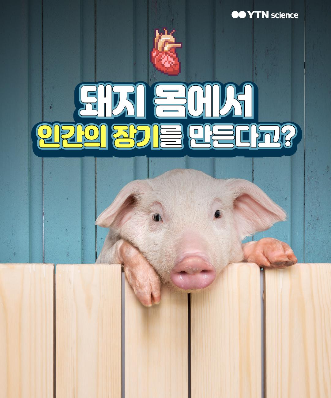 돼지 몸에서 인간의 장기를 만든다고? 이미지