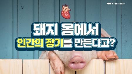 돼지 몸에서 인간의 장기를 만든다고?