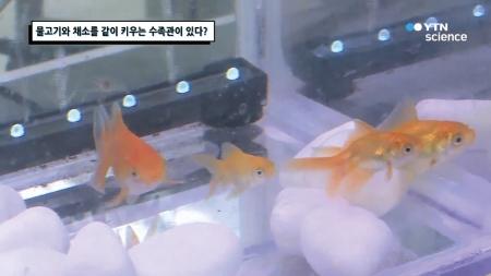 물고기와 채소를 같이 키우는 수족관이 있다?