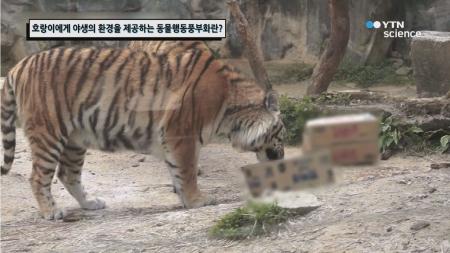 호랑이에게 야생의 환경을 제공하는 동물행동풍부화란?
