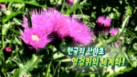 [황금나침반] 한국의 산야초! 엉겅퀴 세계화