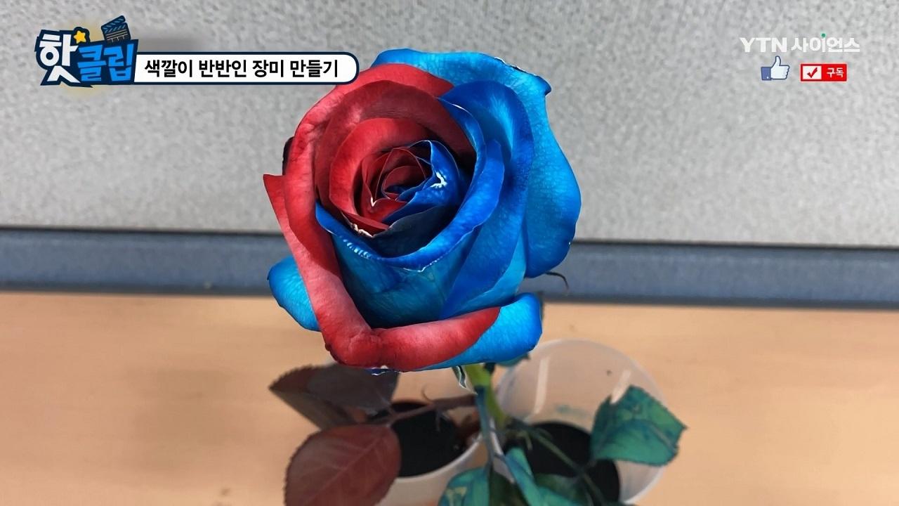 색깔이 반반인 장미 만들기