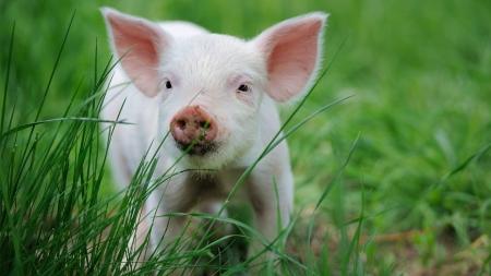 돼지의 재발견